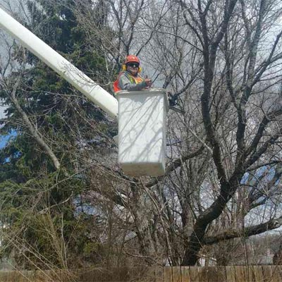 Arborist In Tree Picker Basket
