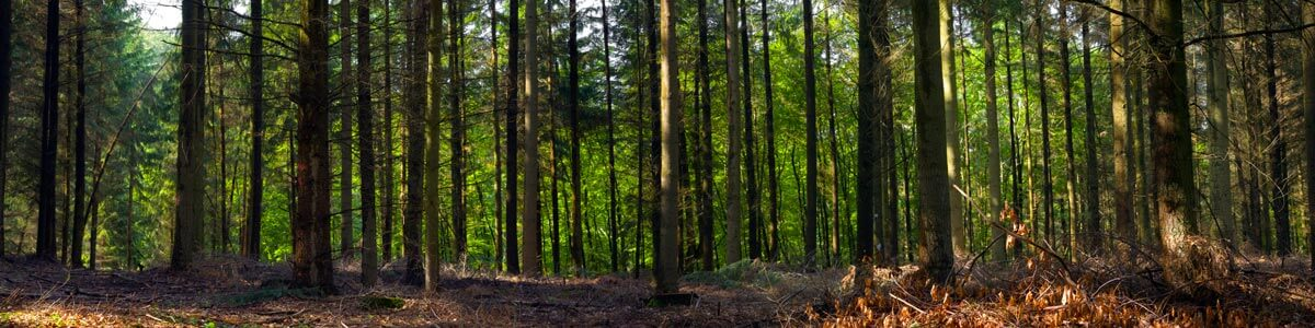 Open Forest
